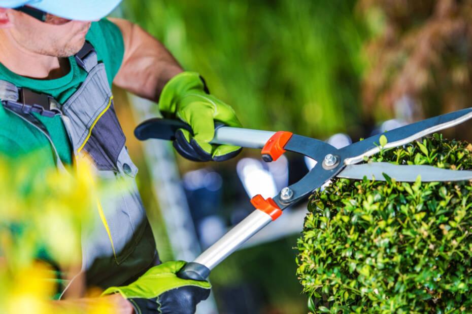 Gärtner schneidet Hecker
